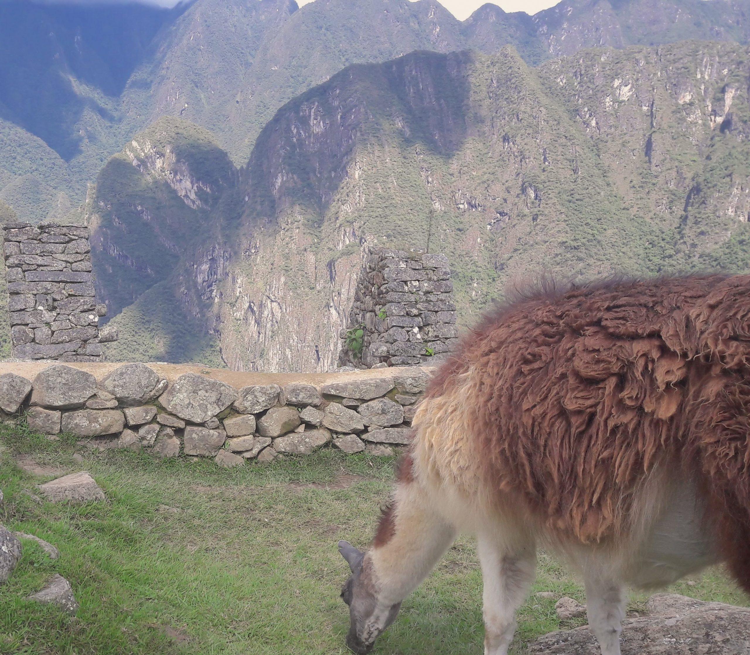 A grazing llama at Machu Picchu
