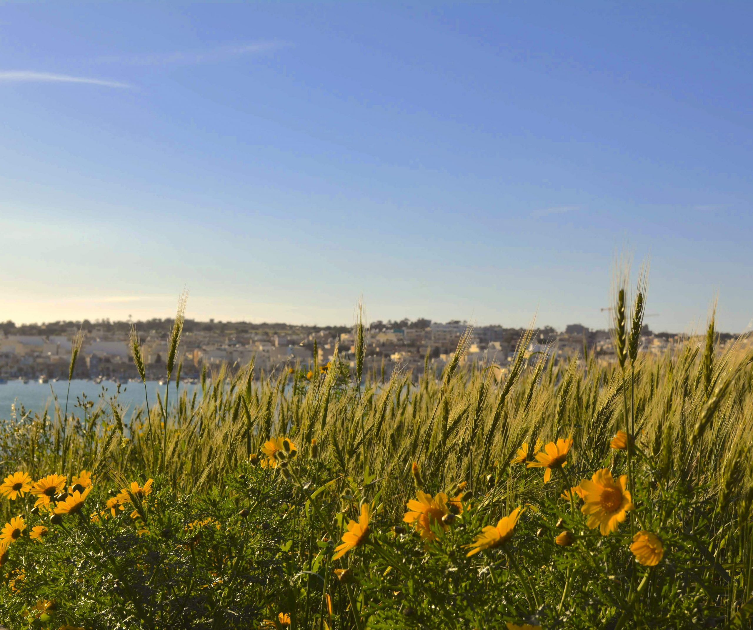 Yellow flowers with a seaside town in the distance
